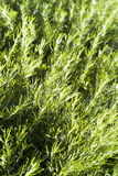 绿色迷迭香纹理 免版税库存图片