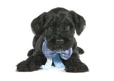 黑色逗人喜爱的小狗 库存照片