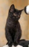 黑色逗人喜爱的小猫 库存照片