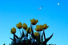 黄色郁金香、鸟和月亮 免版税库存照片