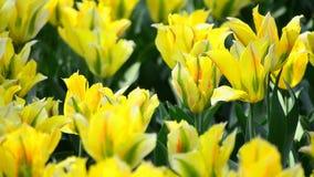 黄色郁金香。 股票视频
