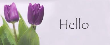 紫色郁金香和你好 库存照片