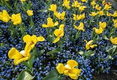 黄色郁金香和在公园种植的勿忘草花 库存图片