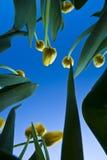 黄色郁金香和蓝天 免版税图库摄影