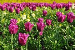 紫色郁金香在一个美丽的花圃里 免版税库存照片