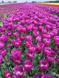 紫色郁金香在农场 免版税库存图片