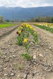 黄色郁金香在庭院里在春天 免版税图库摄影