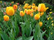 黄色郁金香在庭院里增长 免版税库存图片