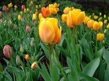 黄色郁金香在庭院里增长 库存照片