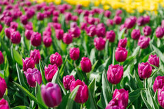 紫色郁金香在庭院里 库存照片
