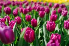 紫色郁金香在庭院里 免版税库存图片