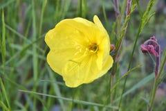 黄色郁金香在春天 免版税库存图片