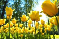 黄色郁金香在花圃里 免版税库存照片