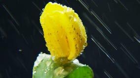 黄色郁金香在雨中 库存照片
