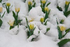 黄色郁金香在雪 图库摄影