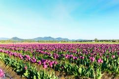 紫色郁金香域 免版税库存图片