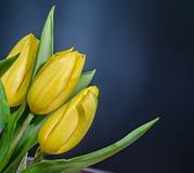黄色郁金香开花,花束,植物布置,关闭,黑梯度背景 免版税图库摄影