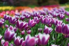 紫色郁金香海  免版税库存照片