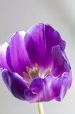 紫色郁金香特写镜头  图库摄影