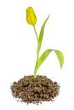 黄色郁金香花卉生长在土壤 库存照片