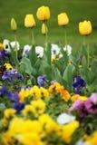 黄色郁金香花园 免版税库存照片