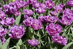 紫色郁金香花床  免版税库存照片