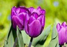 紫色郁金香花床  库存照片