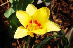 黄色郁金香花特写镜头。 免版税图库摄影