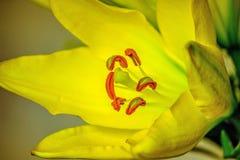 黄色郁金香花特写镜头边 免版税图库摄影