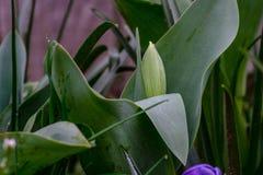 绿色郁金香花蕾 库存图片