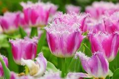 紫色郁金香花 免版税库存图片
