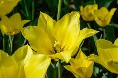黄色郁金香花 库存照片