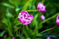 紫色郁金香蓝色金刚石 一些反弹严格晴朗那里不是的蓝色云彩日由于域重点充分的绿色横向小的移动工厂显示天空是麦子白色风 库存照片