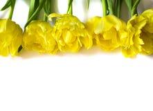 黄色郁金香行在白色背景开花 免版税库存照片