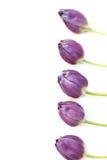 紫色郁金香边界 免版税库存图片