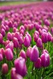 紫色郁金香领域每年增长 免版税图库摄影