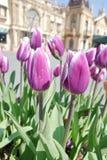 紫色郁金香阻止室外 图库摄影