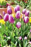 紫色郁金香阻止室外 库存图片