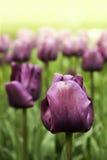 紫色郁金香 库存照片