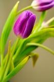 紫色郁金香 图库摄影