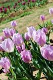 紫色郁金香 免版税库存图片