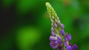 紫色野生羽扇豆 股票录像