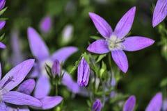 紫色野花在德贝郡 库存图片