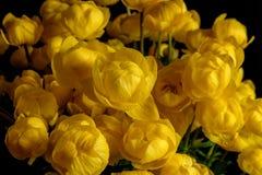 黄色野花花束金莲花europaeus 图库摄影