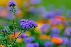 紫色野花-杂草藿香蓟属conyzoides 免版税库存照片
