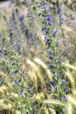 紫色野花- echium vulgare或蛇蝎的牛舌草 库存照片