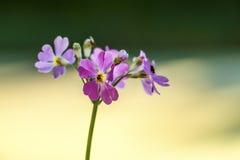 紫色野草花 免版税库存照片