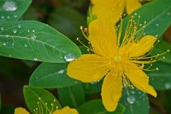 黄色金丝桃属植物特写镜头 免版税库存照片