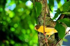 黄色金丝雀(雀类flaviventris)在分支 库存图片