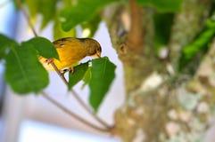 黄色金丝雀(雀类flaviventris)在鸟舍 免版税库存照片